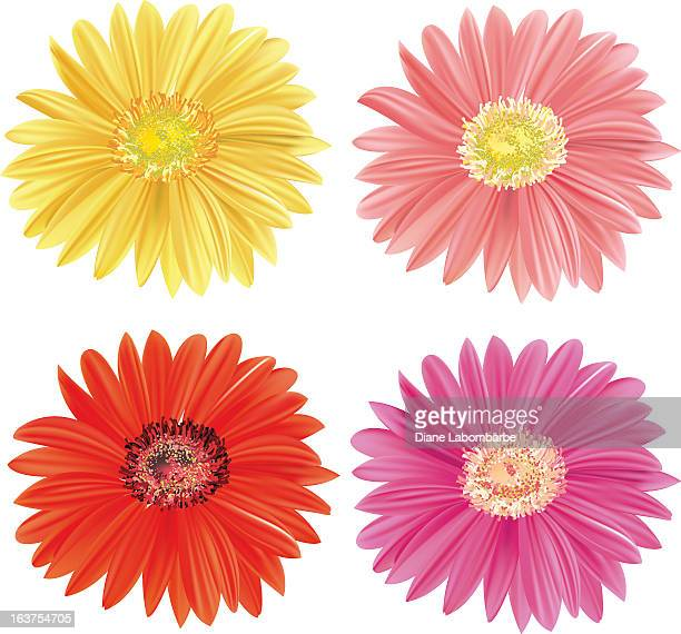 gerbera daisy blooms - gerbera daisy stock illustrations, clip art, cartoons, & icons