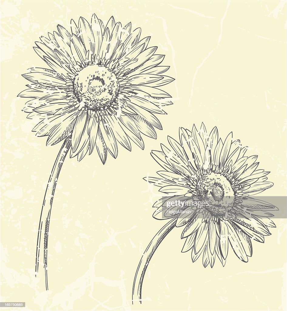 Gerbera Daisy Flowers Drawing Vector Art Getty Images