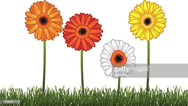 gerbera daisy illustration - gerbera daisy stock illustrations, clip art, cartoons, & icons