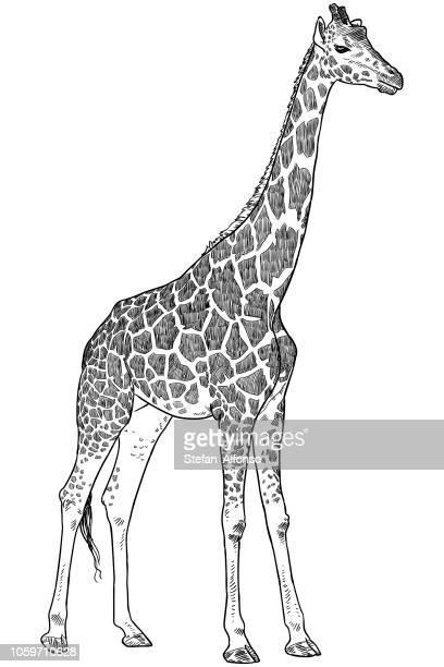 illustrations, cliparts, dessins animés et icônes de girafe dessin - girafe