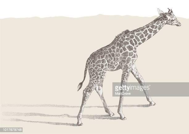 illustrations, cliparts, dessins animés et icônes de girafe à - girafe