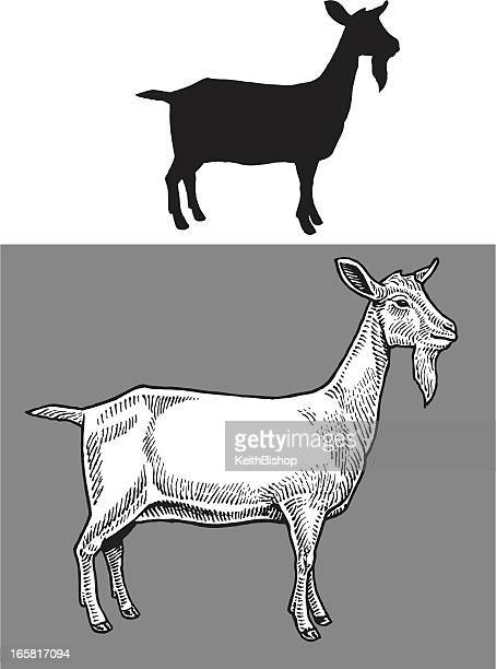 Goat - Farm Animal