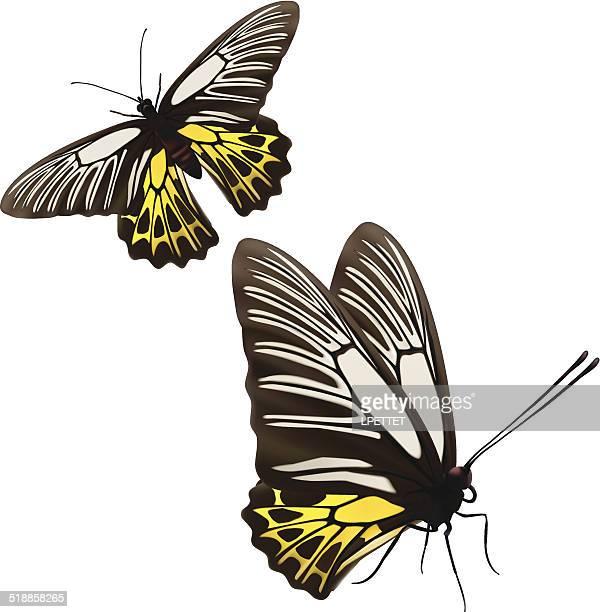 Golden Birdwing Butterfly - Vector