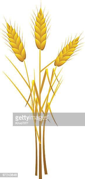 golden ears - husk stock illustrations, clip art, cartoons, & icons