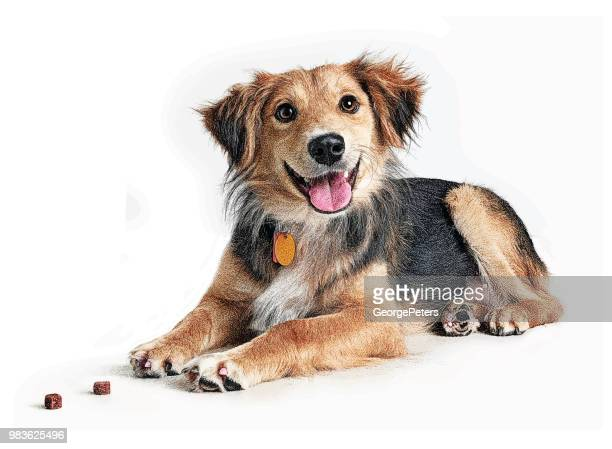 golden retriever, collie mixed breed dog hoping to be adopted - dog stock illustrations