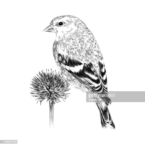 goldfinch vector illustration in engraving style - pen and ink stock illustrations