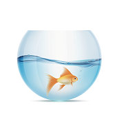 Goldfish floats in a aquarium