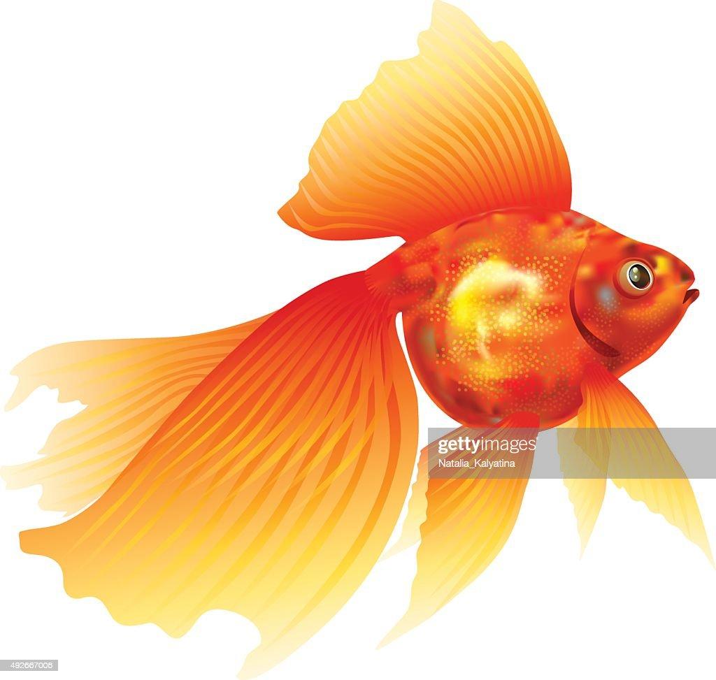 Goldfish. Gold fish.Veiltail.