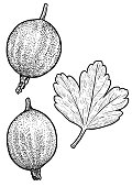 Gooseberry illustration, drawing, engraving, ink, line art, vector