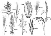 Grain, collection, illustration, drawing, engraving, ink, line art, vector