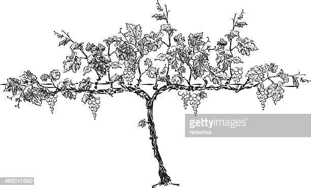 grape tree - grape stock illustrations, clip art, cartoons, & icons