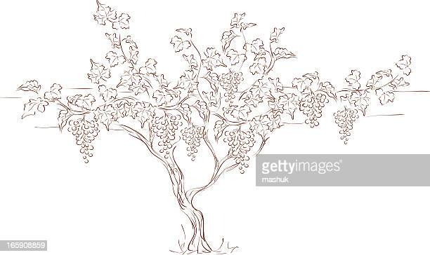 grape vine - grape stock illustrations, clip art, cartoons, & icons