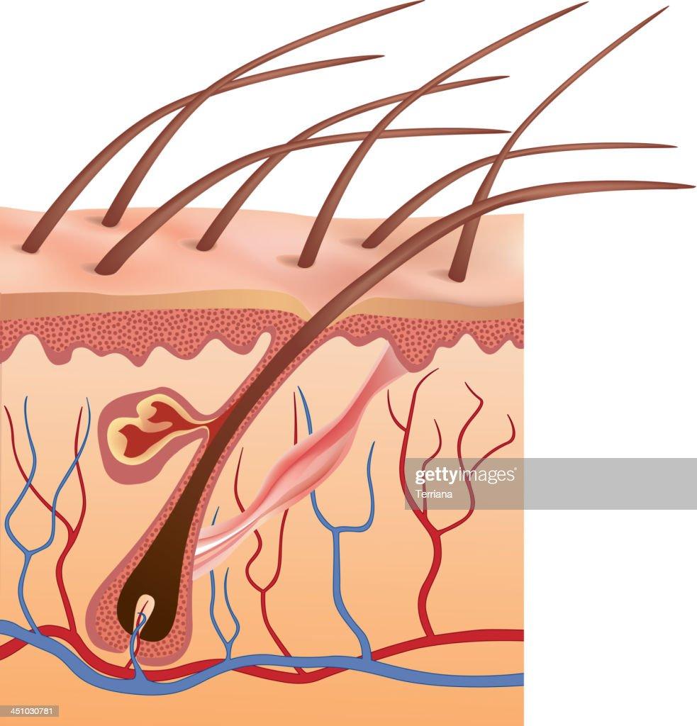 Graphic Anatomy Design Of Human Hair Follicles In Skin Vector Art