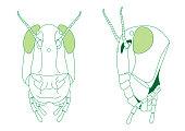 Grasshopper Head Diagram