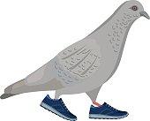 Gray pigeon walking in blue sneakers