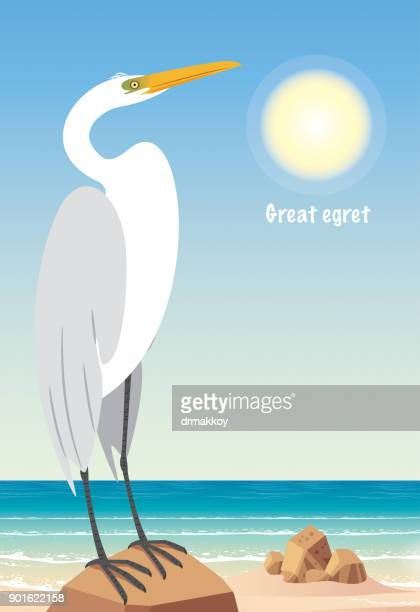 Gread egret