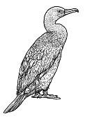 Great Cormorant illustration, drawing, engraving, ink, line art,   vector