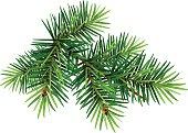 Green Christmas pine tree branch