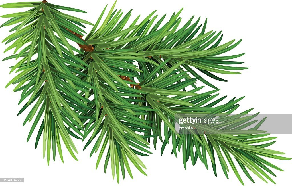 Green fluffy pine branch. Isolated on white background
