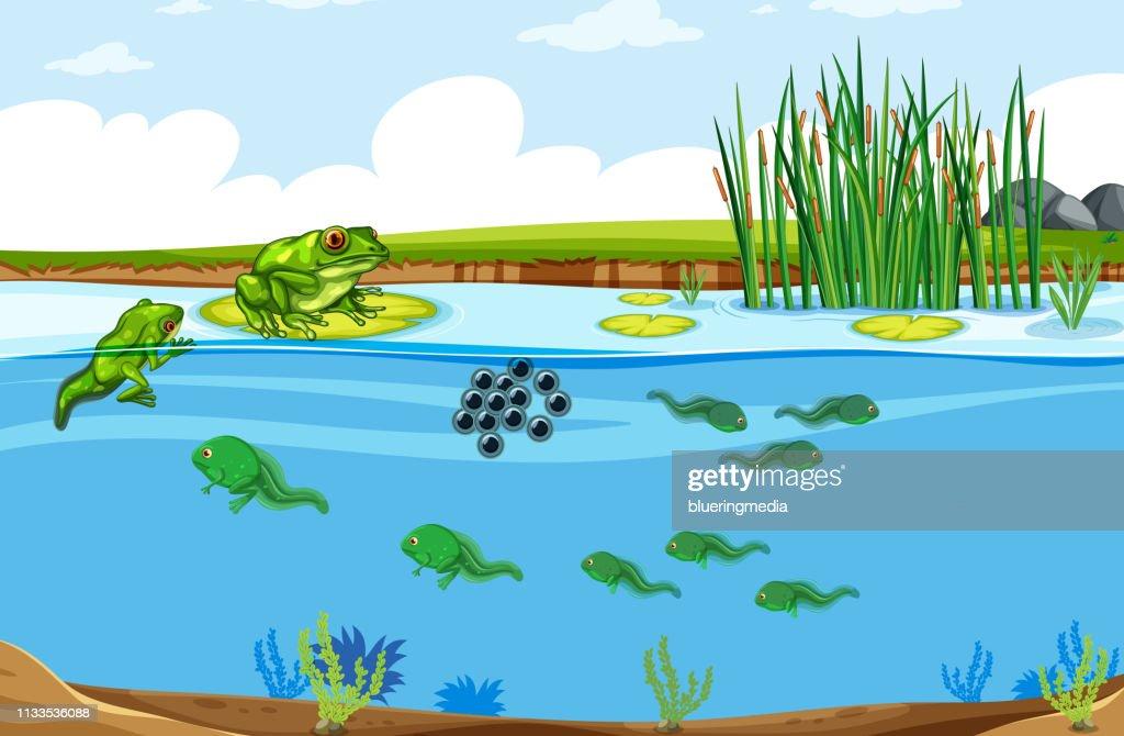 Green frog life cycle scene