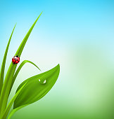 Green grass, plantain and ladybug on blue sky. Floral nature