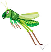 A green grasshopper on white background