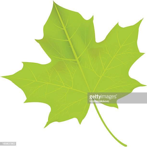 green leaf - maple leaf stock illustrations