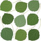 green leaves aspen