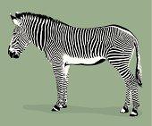Grevy's Zebra Illustration (vector)