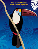 Grey- Breasted Mountain Toucan