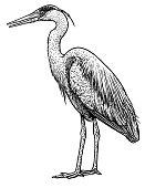 Grey, common heron illustration, drawing, engraving, ink, line art,   vector