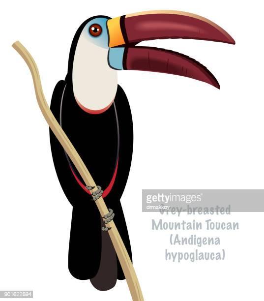 Grey Mountain Toucan
