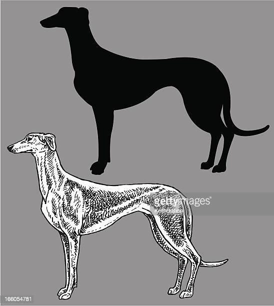 ilustraciones, imágenes clip art, dibujos animados e iconos de stock de greyhound- perro, nacionales mascota - galgo