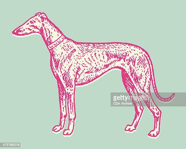 greyhound dog - best in show stock illustrations