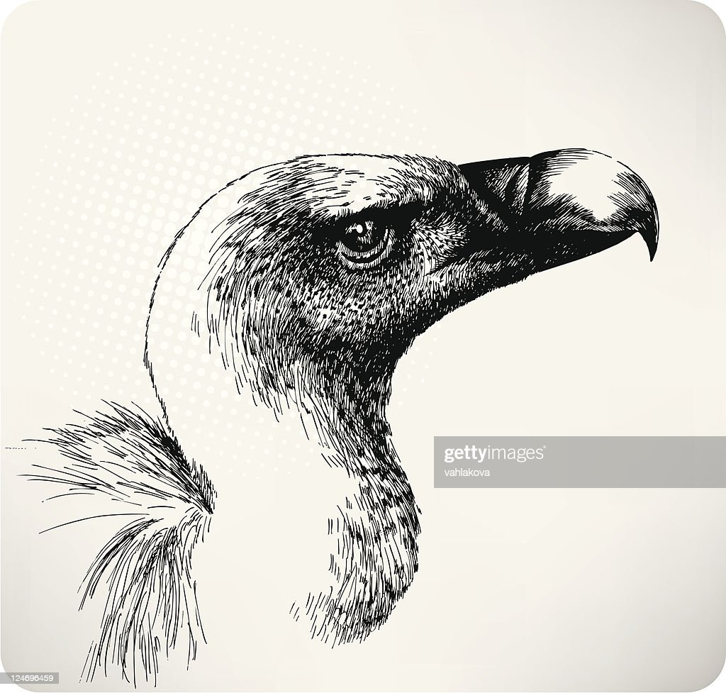 Griffon Vulture hand drawn