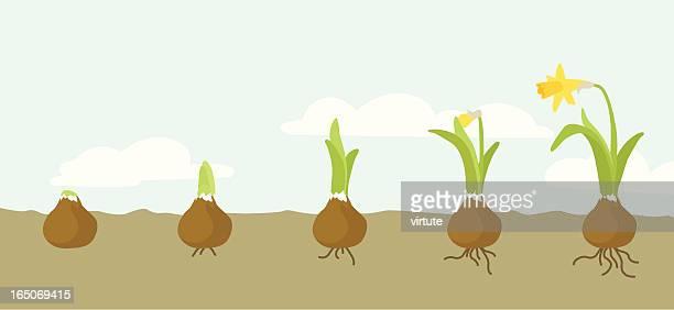 growing daffodil - plant bulb stock illustrations