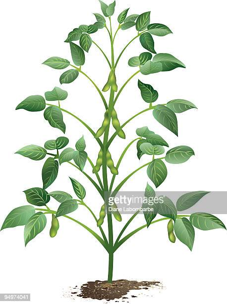 growing soybean plant in dirt with pods and leaves - bean stock illustrations, clip art, cartoons, & icons