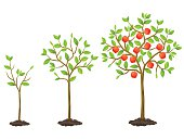Growth cycle from seedling to fruit tree. Illustration for agricultural