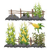 Growth stages of corn, agriculture