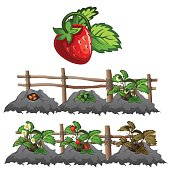 Growth stages of strawberries, agriculture, vector