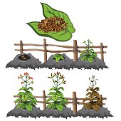 Growth stages of tobacco, agriculture, vector