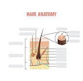 Hair anatomy blank illustration vector on white background. Madical concept.