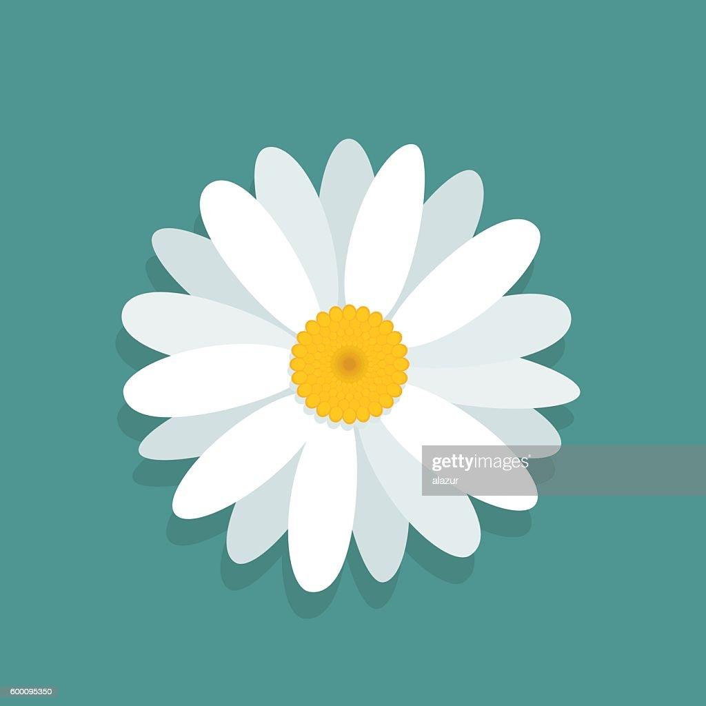 Сhamomile flower isolated on blue background