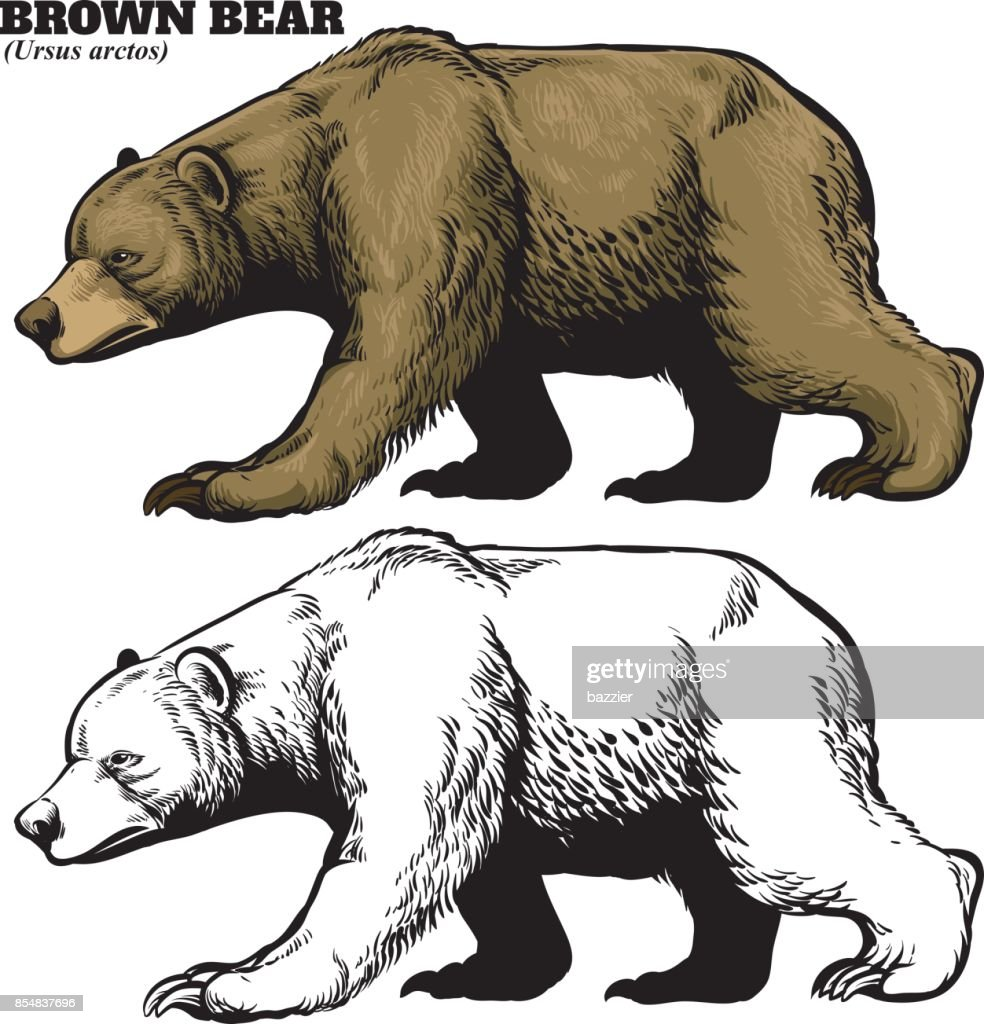 hand drawing style of brown bear