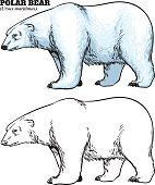 Hand drawing style of polar bear