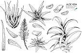 Hand drawn aloe vera bush, flower, slices. Engraved vector illustration. Medical, cosmetic plant. Moisturizing serum, healthcare. Cosmetics, medicine, treating, aromatherapy, package design, skincare.