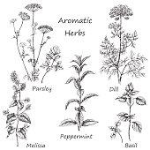 Hand drawn aromatic herbs.
