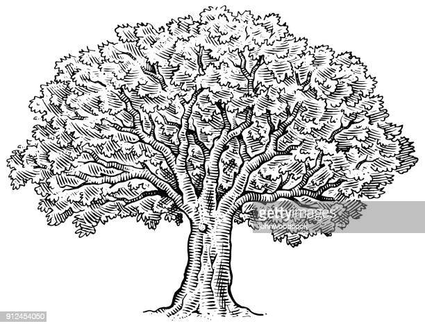 hand drawn big tree illustration - pen and ink stock illustrations