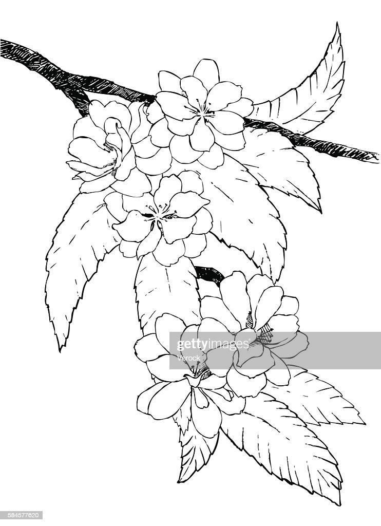 Hand drawn branch of oriental cherry
