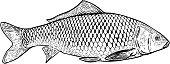 Hand drawn carp fish illustration. Design elements for poster, menu, banner, menu. Vector illustration